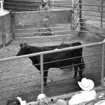 amarillo-livestock-auction-03